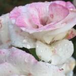 Regenbeküsste RoseX_Gera19_204kb(R.A)